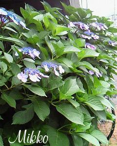 「紫陽花」の歌