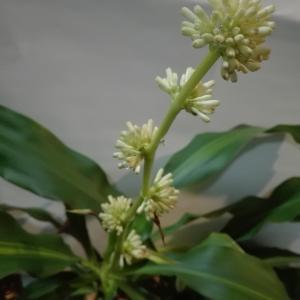 【なかなか咲かない『幸福の木』の「お花」が、2年連続で咲きました!…嬉しいです♥…】#208