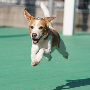 DOG DEPT御殿場店飛行犬撮影会 2-24-12