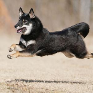 2-28-1 内山 陽太(ひなた)くん 2歳 大阪府 日本の犬写真集エントリー