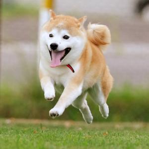7-26-15 旭川市ローズドッグラン飛行犬撮影会