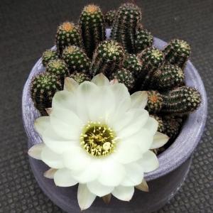 シュガーホワイトの白い花