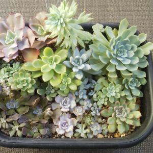 エケベリア鉢