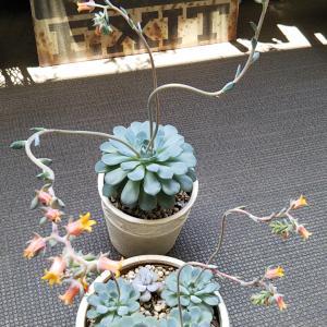 ブルーミニマの花