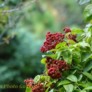 Photo ムギマキと秋の恵みに集う野鳥たち…