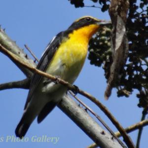 Photo 烏山椒とキビタキと、野鳥たち…
