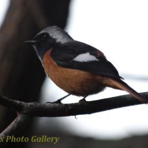 Photo オレンジのかわいい小鳥 ジョウビタキ