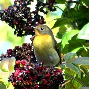 Photo ムギマキ オレンジの秋の渡り鳥がまだいたョ!