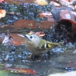 Photo かわいい小鳥たちの水浴び ~キクイタダキ、エナガ、シジュウカラ、ヤマガラ~