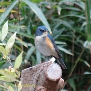 Photo 水辺に集う小鳥たち… ~ルリビタキ、ジョウビタキ、ヒガラ、シジュウカラ、アトリ~