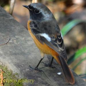Photo ジョウビタキ オレンジの小鳥はどこでも参上?!