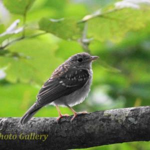 Photo 野鳥シリーズ152 ~キビタキの幼鳥~