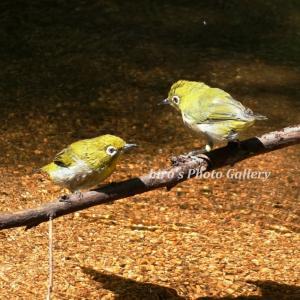 Photo 野鳥シリーズ178 ~小鳥たちの水浴び~