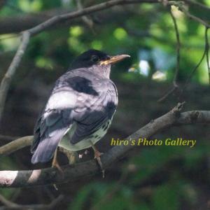 Photo 野鳥シリーズ196 ~水辺のクロツグミ~