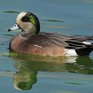 Photo 野鳥シリーズ199 ~冬の水鳥たちも続々と…~