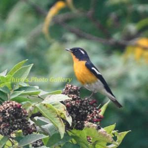 Photo 野鳥シリーズ200 ~ゴシュユに集うムギマキと、取り巻く野鳥たち…~