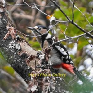 Photo 野鳥シリーズ216 ~アカゲラとアオゲラ~