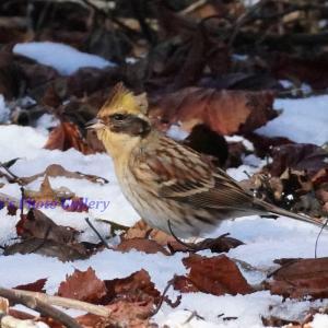 Photo 野鳥シリーズ219 ~雪上の野鳥たち…~
