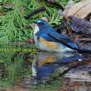 Photo 野鳥シリーズ221 ~小鳥たちの水浴び大会!!~