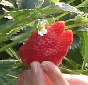 イチゴ狩りと寄り道スポット@常磐道沿線