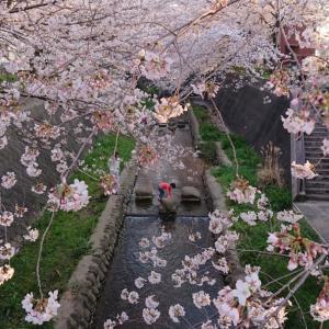 少年と桜と小川