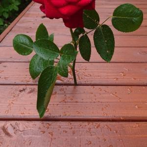 薔薇を活けてみました。