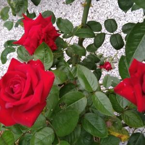 薔薇と甲子園