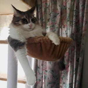 かわいい猫写真 ノルウェージャンとペルシャ猫、キャットタワーの使い勝手