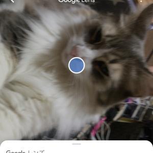 """長毛猫を""""Googleレンズ""""で撮影したら……意外な結果にw"""