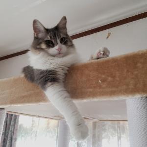 キャットタワーと猫 ノルウェージャンとペルシャ猫写真館