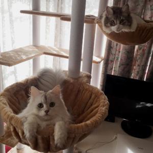 【猫動画】ペルシャ猫、連続猫パンチを繰り出すかわいい動画w