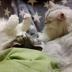 【猫動画】ノルウェージャンとペルシャ、毛繕いから取っ組み合い