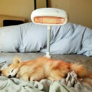 老犬愛犬くん、ポメラニアンの容態悪化・急変・ペットの病気🐶