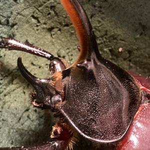 ☆ D.hercules.ecuatrianus ♂羽化確認 & 飼育状況整理(^^)☆
