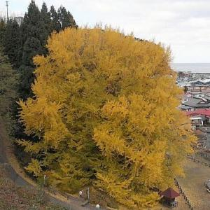 日本一の大銀杏