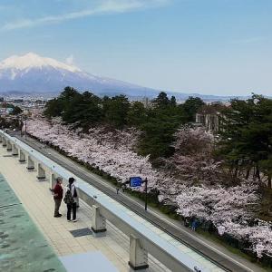 弘前公園外堀の桜