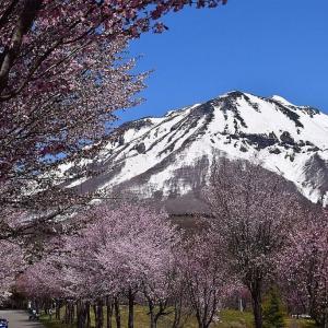 日本一の桜並木