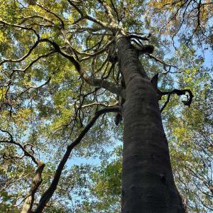 和泉葛城山(いずみかつらぎさん)ブナ林散策&ヒノキ伐採(間伐)体験