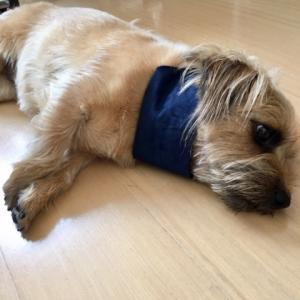 ★インド綿で涼しく♪小型犬ドッグウェア★