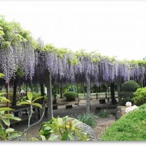 藤の花リベンジ