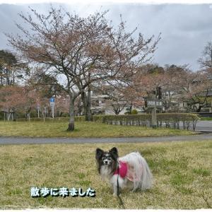 名残の桜・・・
