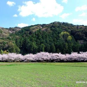 後期高齢者1と2と3と「萩町・山蔭川の桜」