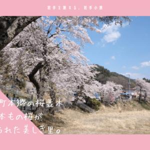 唐丹町本郷の桜並木・お花見情報2019。2800本の桜が植えられた美しき里。