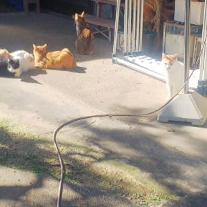多頭猫たち、犬猫みなしご救援隊広島本部TNR一斉へ