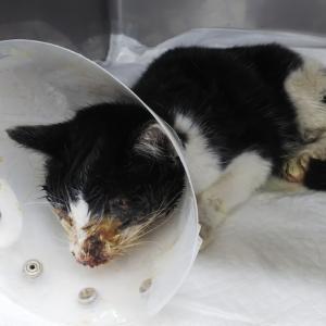 骨折…衰弱…そしてカラスに襲われていた猫