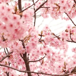 河津桜を求めて