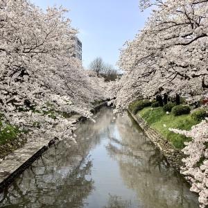 松川べりの桜@富山県富山市 2020