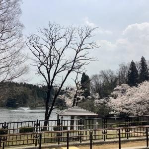 薬勝寺池公園の桜@富山県射水市 2020