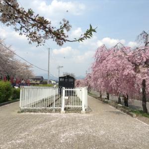 日中線しだれ桜並木の桜@福島県喜多方市 2014 喜多方ラーメンも