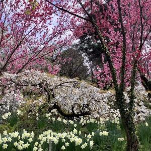 花の森・天神山ガーデンのはなもも@富山県魚津市